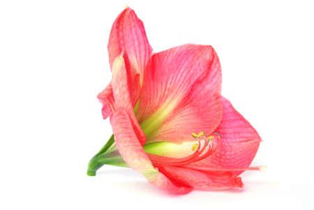 plantlife: Beautiful bloom of pink amaryllis flower isolated on white Stock Photo