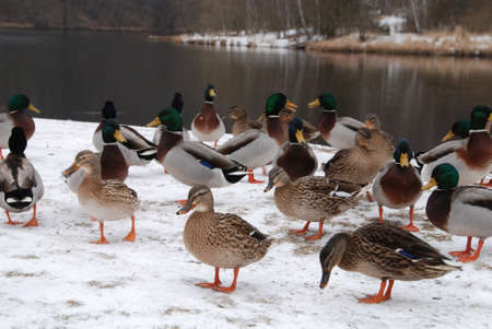 Flock of wild ducks on the river bank