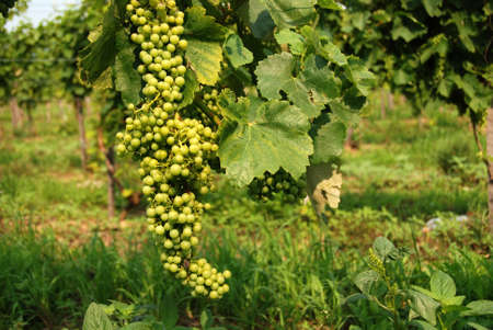 chardonnay: Wine grapes of Chardonnay type in te vineyard