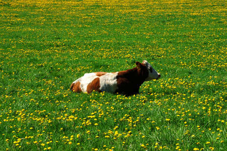 Cow and a green field full of danelions photo