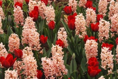 detai: Beautiful red tulips and pink hyacinths blooming