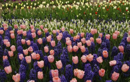 blue tulip: Beautiful pink tulips and purple hyacinths blooming Stock Photo