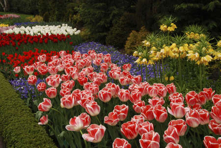 detai: Beautiful pink tulips and purple hyacinths blooming Stock Photo