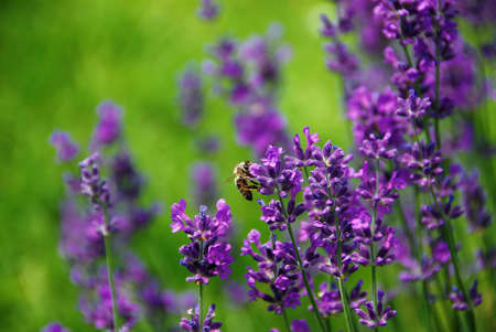Lavender blooms and a bee with a shallow DOF photo