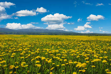 Beautiful spring shot with a dandelion meadow Stock Photo - 17721772