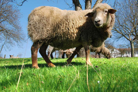 Beautiful young lamb on the green grass photo