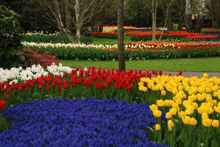 Vivid tulip fields in Holland in the spring