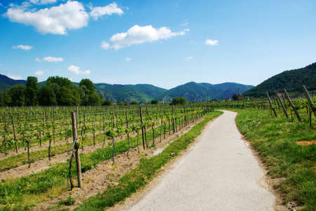 Large vineyards at sunny day and a road