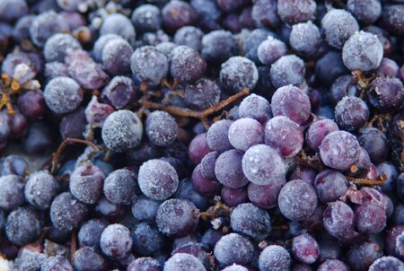 Wine red grapes for ice wine in winter condition and snow. Standard-Bild