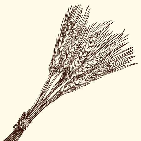 Bunch of Ripe Wheat Engraving