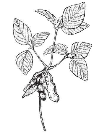 soya: soy ramita, dibujo estilo de grabado Vectores