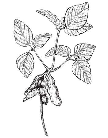 soya bean plant: soy twig, engraving style drawing Illustration