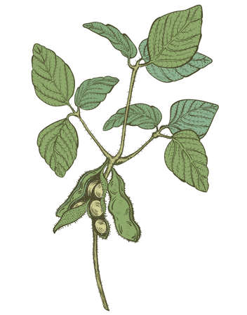 soya beans: soy twig, engraving style color vector drawing