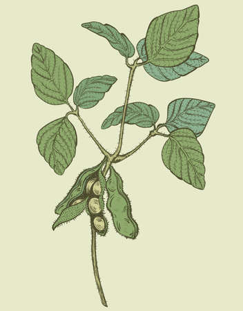 soy bean: soy twig, engraving style color vector drawing on green