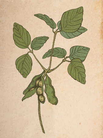 soy twig, engraving style color vector drawing on vintage old paper, realistic parchment or cardboard background
