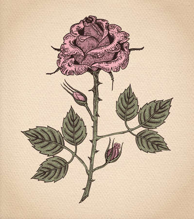 Rose flower, engraving style color vector drawing on vintage old paper, realistic parchment or cardboard background Illustration