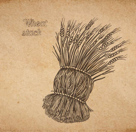 Vector illustration of hand drawn stack of wheat - engraved on old paper illustration style detailed drawing for brewing and harvesting theme Illustration