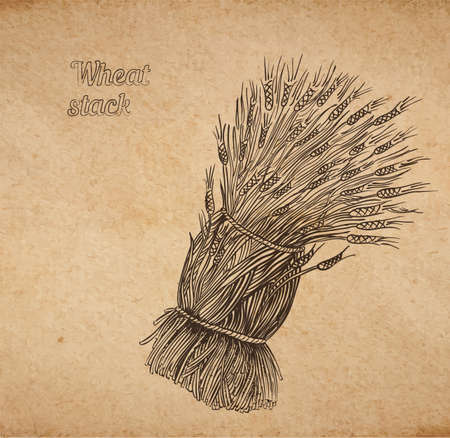 hands tied: Vector illustration of hand drawn stack of wheat - engraved on old paper illustration style detailed drawing for brewing and harvesting theme Illustration