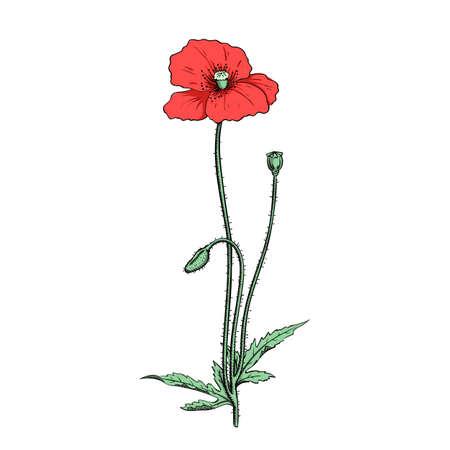 illustration of red poppy twig, sketch in vintage botanical illustration colored engraving style