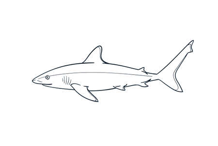 Silvertip shark fish predator vector zoological naturalistic illustration outline isolated on white
