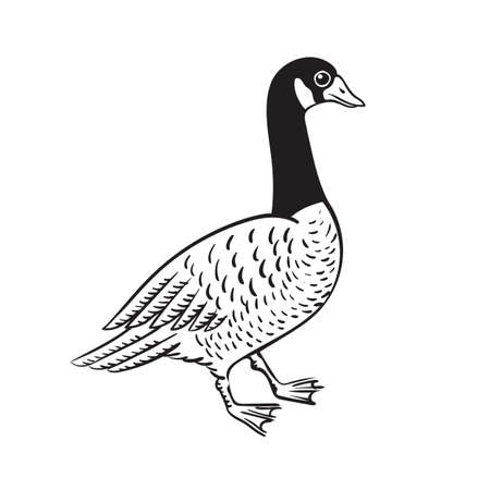 Branta black necked Canada goose vector illustration naturalistic drawing of bird isolated on white