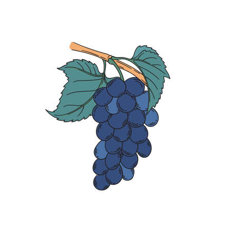 Noir muscat grapevine vector illustration in vintage botanical illustration lineart style blue black grapes berries with leaf isolated on white Banque d'images - 122579132