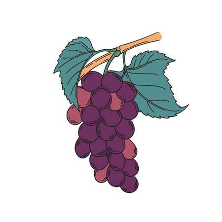 Red muscat grapevine vector illustration in vintage botanical illustration lineart style pink purple grapes berries with leaf isolated on white Banque d'images - 122579138