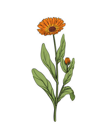 Calendula vector illustration of marigold flower twig sketch engraving vintage botanical illustration orange meadow wildflower alternative medicine and beauty herb isolated on white