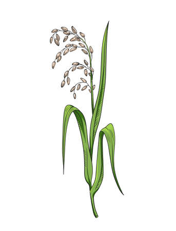 Rice plant botanical illustration color vector drawing of rice twig with leaves and earof ripe grains isolated on white asian beauty herb