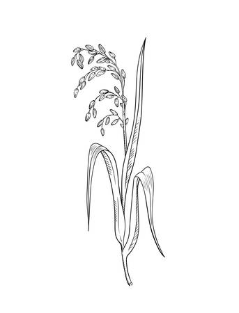 Rice plant botanical illustration vector sketch of rice twig with leaves and earof ripe grains isolated on white asian beauty herb