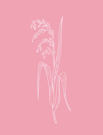 Pink rice plant botanical illustration vector outline drawing of rice twig with leaves and ear of ripe grains isolated on pink - asian beauty herb