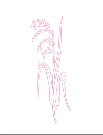 Rice herb botanical illustration vector pink outline drawing of rice twig with leaves and ear of ripe grains isolated on white - asian beauty herb Ilustração