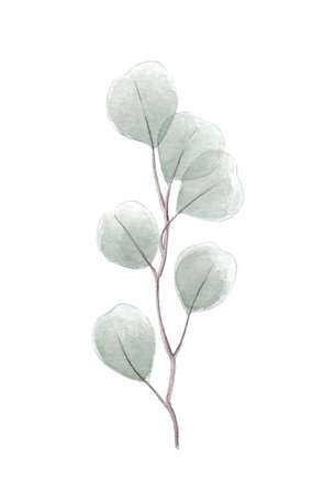 Silver dollar eucalyptus twig watercolor illustration with eucalyptus tree branch with round heart shaped leaves wedding decorative elements or invitation element
