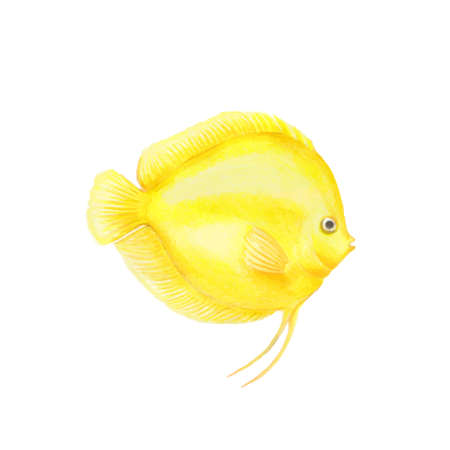 Yellow discus fish illustration realistic drawing by colored pencils bright Symphysodon fish zoological illustration isolated on white background