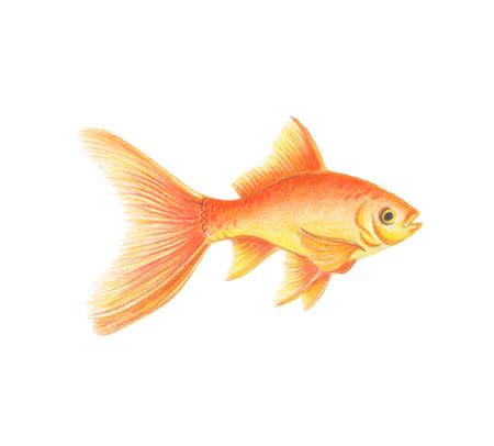 Illustration de poisson d'or dessin réaliste par des crayons de couleur illustration zoologique de poisson d'or jaune orange isolé sur fond blanc Vecteurs