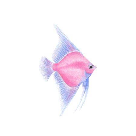 Angelfish fish illustration realistic drawing by colored pencils pink blue transparent Pterophyllum fish zoological illustration isolated on white background Illustration
