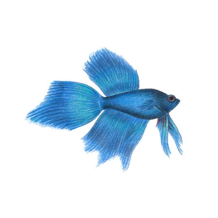 Blue betta fish illustration realistic drawing by colored pencils siamese fighting fish zoological illustration isolated on white background