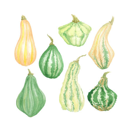 Vector Watercolor hand drawn pumpkin set green and yellow ripe autumn harvest season or Thanksgiving clipart, collection of painted vegetables isolated on white background. Standard-Bild - 133052401