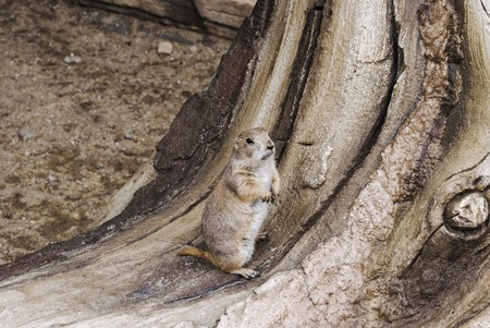Gopher or ground squirrel standing on the tree closeup portrait