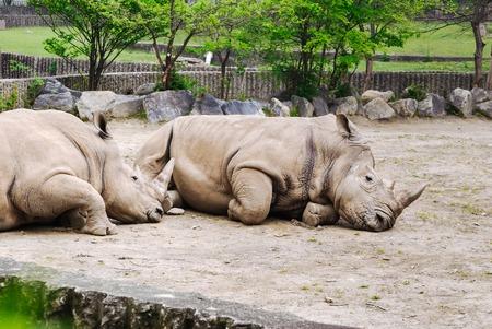 Rhinoceroses or rhinos lying on the ground  Фото со стока