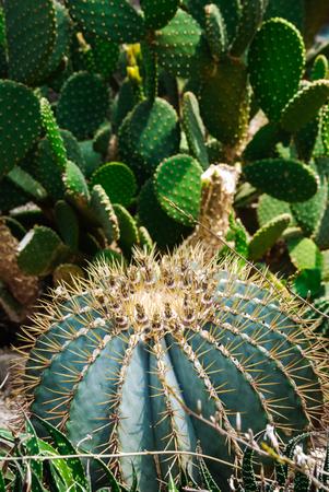 Big round golden barrel or golden ball cactus close-up