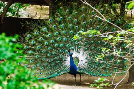 Peacock showing his beautiful tail in the garden Фото со стока