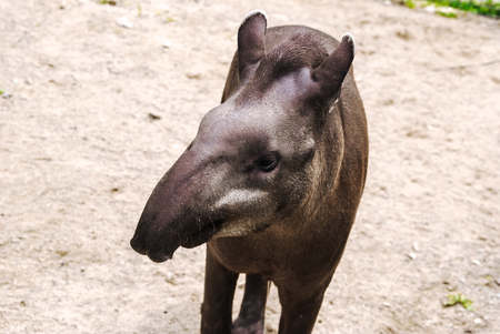 Curious young tapir closeup portrait, cute animal
