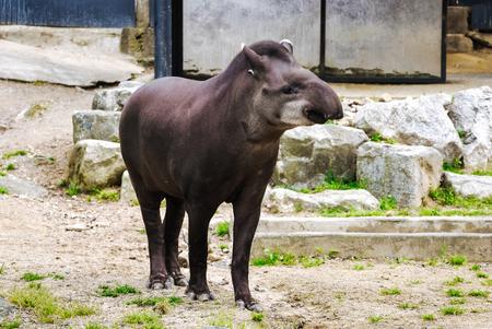 Cute young tapir standing portrait, cute animal
