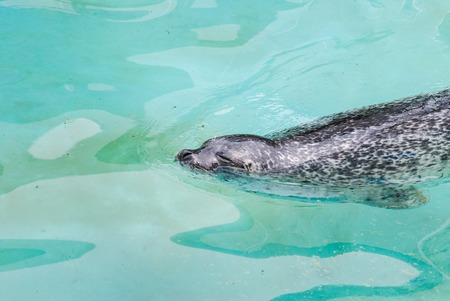 Fur seal or sea lion swimming in the water
