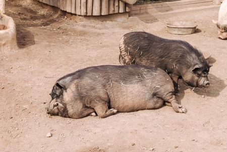 Funny black shaggy pigs wallowing on the ground at the farm