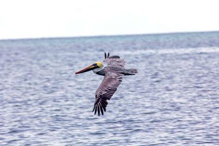 pelicans in caribbean landscape