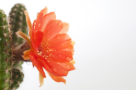room cactus flower growing in a small pot. Red flower. Green cactus. On a white background. photo