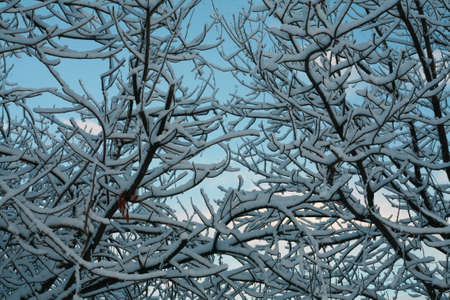 snowfalls: Snow on a tree Stock Photo