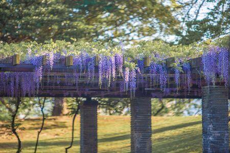 Wisteria flower in Ohori Park in Fukuoka City, Fukuoka Prefecture Banque d'images